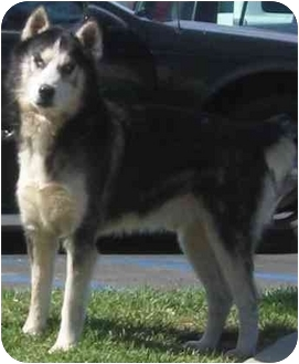 Siberian Husky Dog for adoption in Southern California, California - Grady