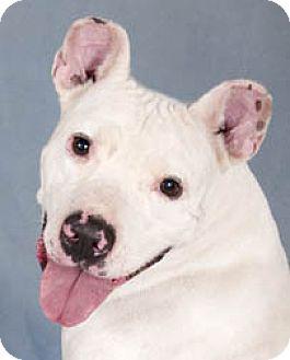Dogo Argentino/American Bulldog Mix Dog for adoption in Chicago, Illinois - Dawson