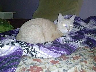 Domestic Shorthair Cat for adoption in Los Angeles, California - Crunch