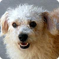 Adopt A Pet :: Pudgey - Wickenburg, AZ