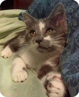 Domestic Shorthair Kitten for adoption in Meridian, Idaho - Bubbles
