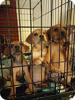 Boxer/Shepherd (Unknown Type) Mix Puppy for adoption in Danbury, Connecticut - Gem