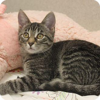 Domestic Shorthair Kitten for adoption in Naperville, Illinois - Jinx