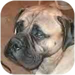 Bullmastiff Dog for adoption in Ladera Ranch, California - Hercules - Washington State