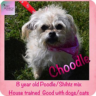 Poodle (Miniature)/Shih Tzu Mix Dog for adoption in Washington, Pennsylvania - Choodle