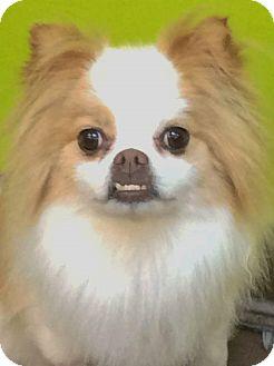 Pomeranian/Pekingese Mix Dog for adoption in Bridgeton, Missouri - Leo