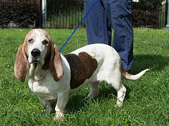 Basset Hound Dog for adoption in Folsom, Louisiana - Molly