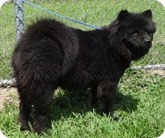 Chow Chow Mix Dog for adoption in Olive Branch, Mississippi - Celia