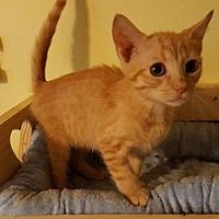 Adopt A Pet :: Pumpkin - Old Bridge, NJ