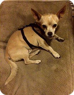 Chihuahua Mix Puppy for adoption in Monrovia, California - Austin