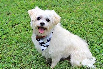 Maltese/Yorkie, Yorkshire Terrier Mix Dog for adoption in Spring Valley, New York - MOCHA