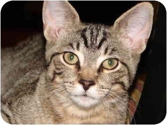 American Shorthair Kitten for adoption in Cuyahoga Falls, Ohio - Claude