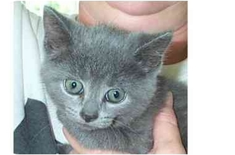 Domestic Shorthair Kitten for adoption in Acme, Pennsylvania - Hermionie