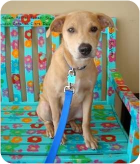 Retriever (Unknown Type) Mix Puppy for adoption in Houston, Texas - Rosie