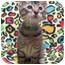 Photo 2 - Domestic Shorthair Kitten for adoption in Jackson, Michigan - Harry