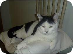 Domestic Shorthair Cat for adoption in Hamburg, New York - Shoeless Joe Jackson
