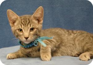 Domestic Shorthair Cat for adoption in Sacramento, California - Smokey Grey