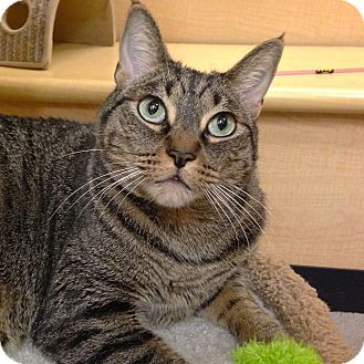 Domestic Shorthair Cat for adoption in Foothill Ranch, California - Ramsey