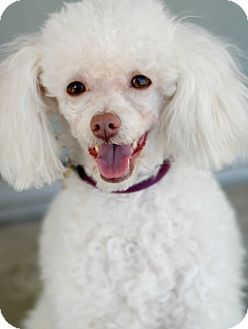 Poodle (Miniature) Dog for adoption in Studio City, California - Tiffany
