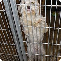 Adopt A Pet :: Puff - Phoenix, AZ