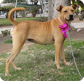 Retriever (Unknown Type)/Terrier (Unknown Type, Medium) Mix Dog for adoption in Poway, California - FRIDA
