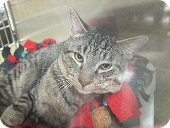 Domestic Shorthair Cat for adoption in Smithfield, North Carolina - Buster