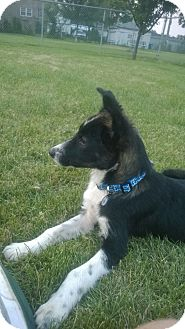 Border Collie Mix Puppy for adoption in Hainesville, Illinois - Jacque