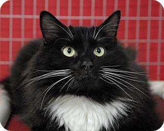 Domestic Longhair Cat for adoption in Winchendon, Massachusetts - Gizmo