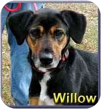 Coonhound Mix Dog for adoption in Aldie, Virginia - Willow
