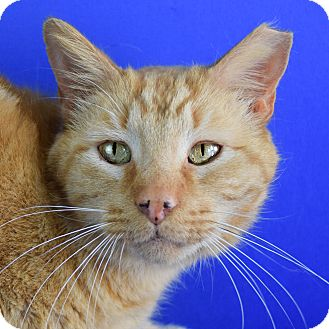 Domestic Shorthair Cat for adoption in Carencro, Louisiana - Morris
