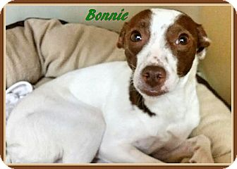 Terrier (Unknown Type, Medium) Mix Dog for adoption in Ahoskie, North Carolina - Bonnie2