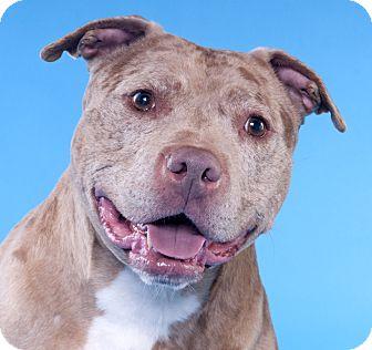 American Staffordshire Terrier Dog for adoption in Chicago, Illinois - Mr Bojangles
