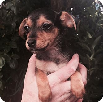 Chihuahua/Terrier (Unknown Type, Small) Mix Puppy for adoption in San Francisco, California - Quincy