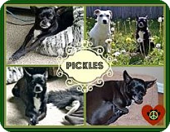 Chihuahua Mix Dog for adoption in Cambridge, Ontario - Pickles