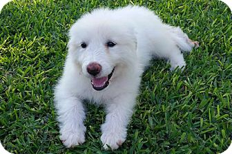 Great Pyrenees Mix Puppy for adoption in Kyle, Texas - Rosie