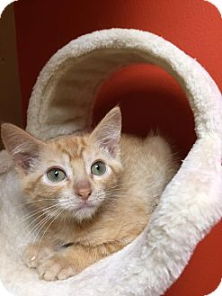 Domestic Shorthair Kitten for adoption in Maryville, Missouri - June