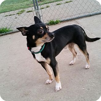 Chihuahua/Terrier (Unknown Type, Small) Mix Dog for adoption in Norman, Oklahoma - Diego