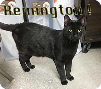 Domestic Shorthair Cat for adoption in Seguin, Texas - Remington