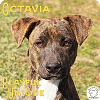 Adopt A Pet :: Octavia - Washburn, MO