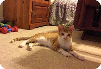 Domestic Shorthair Kitten for adoption in Smithfield, North Carolina - Grady