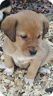 Labrador Retriever Mix Puppy for adoption in Kittery, Maine - Cinna