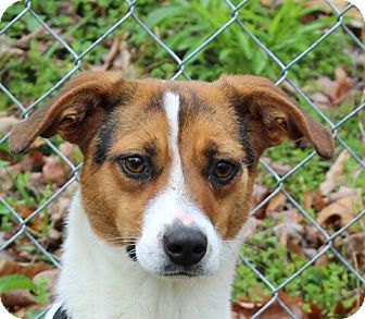 Beagle/Mountain Cur Mix Dog for adoption in Allentown, Pennsylvania - Chloe