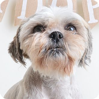 Mixed Breed (Small)/Shih Tzu Mix Dog for adoption in Wilmington, Delaware - Maddy