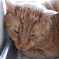 Domestic Shorthair Cat for adoption in San Ramon, California - Colby