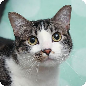 Domestic Shorthair Cat for adoption in Chippewa Falls, Wisconsin - Abbie