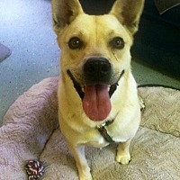 Shiba Inu Mix Dog for adoption in Middletown, New York - McGee