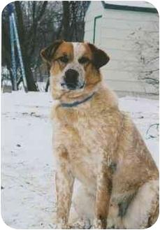 Australian Cattle Dog Mix Dog for adoption in Owatonna, Minnesota - Rusty