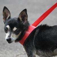 Adopt A Pet :: Sandy - Gainesville, FL