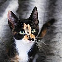 Adopt A Pet :: Harper - Los Angeles, CA