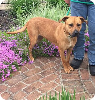 Boxer/Black Mouth Cur Mix Dog for adoption in Zanesville, Ohio - 49110 Bella Donna sponsored $72 plus tags